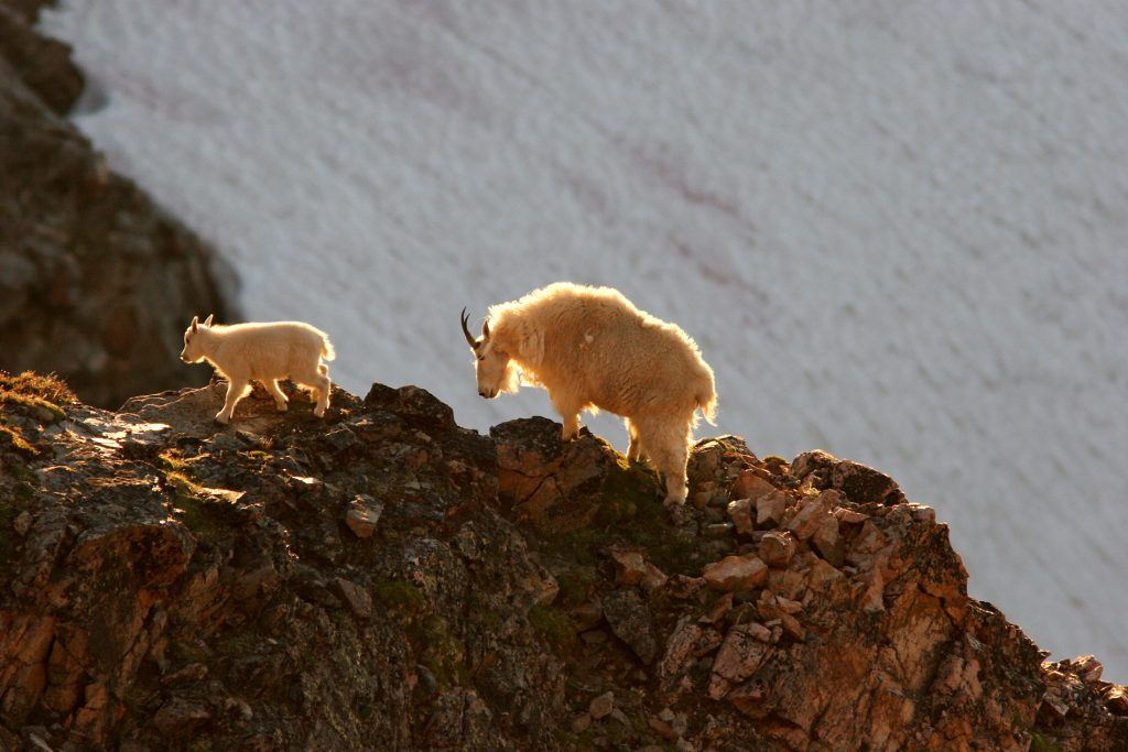 Mountain Goats can usually be seen along the Beartooth Scenic Highway during the summer months particulary in August near the summit of Beartooth Pass