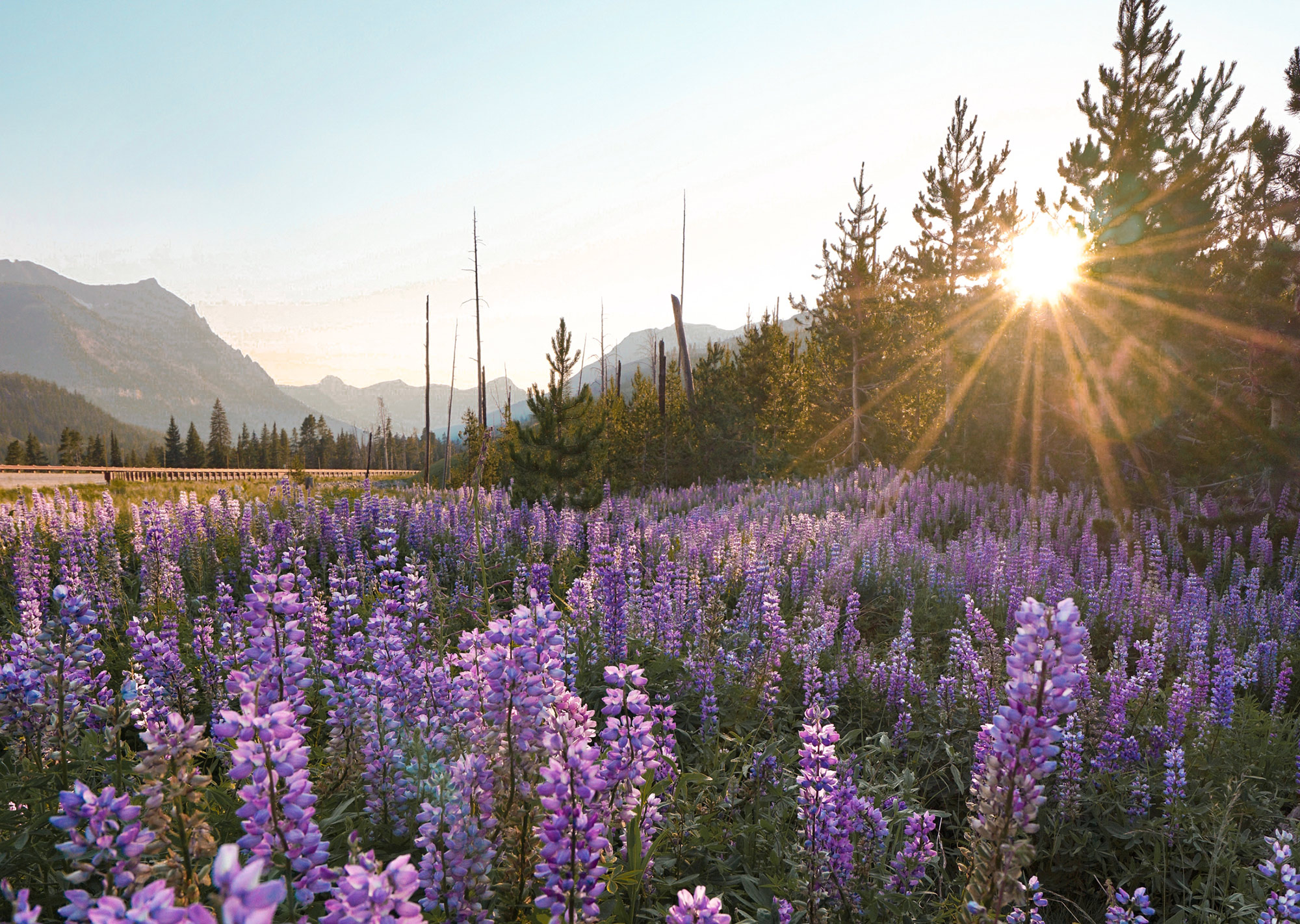 Lupin Flowers in bloom near Cooke City, Montana in Yellowstone Country.