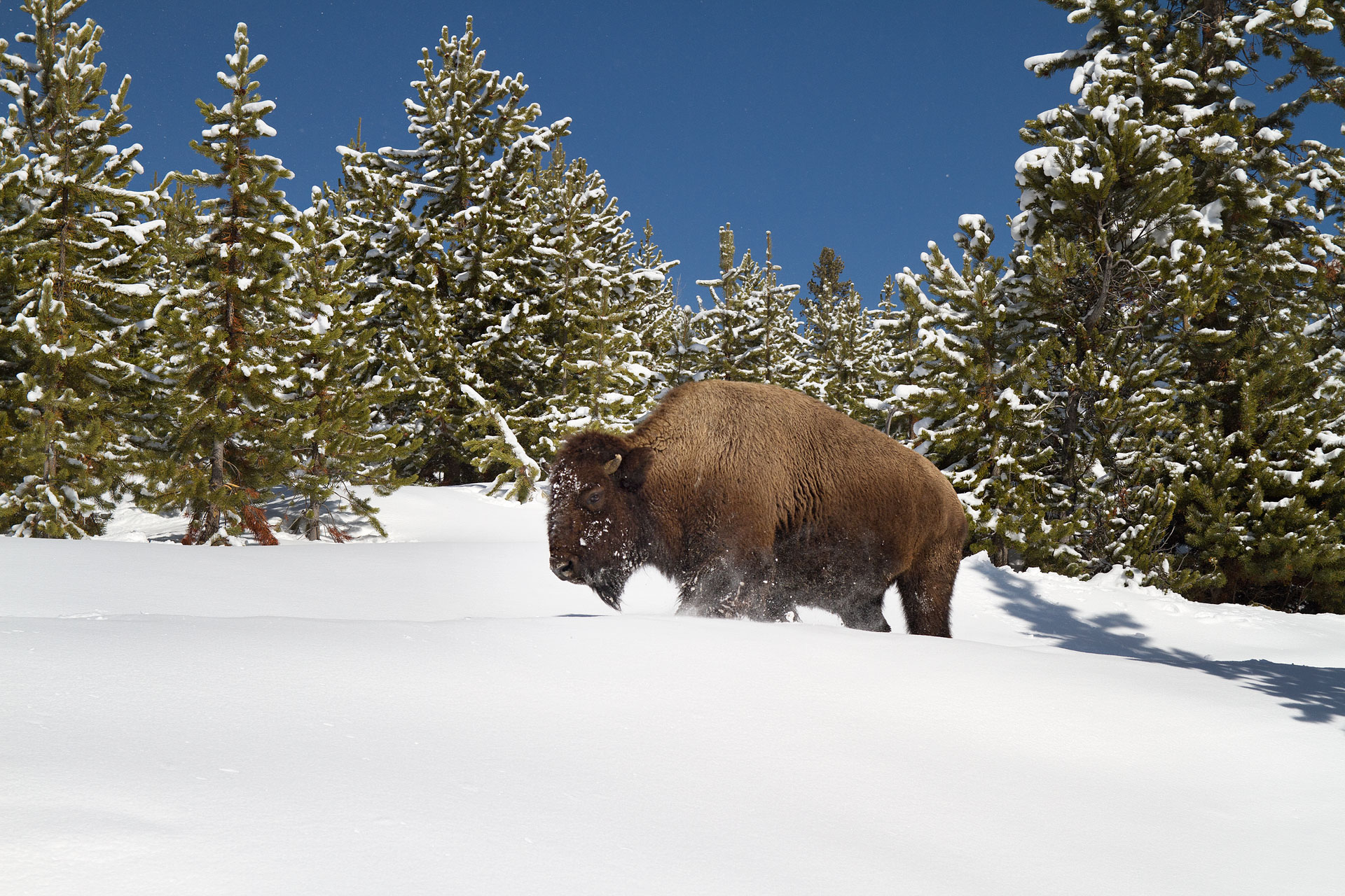 A bison trudges through the snow in Yellowstone Country near Yellowstone National Park