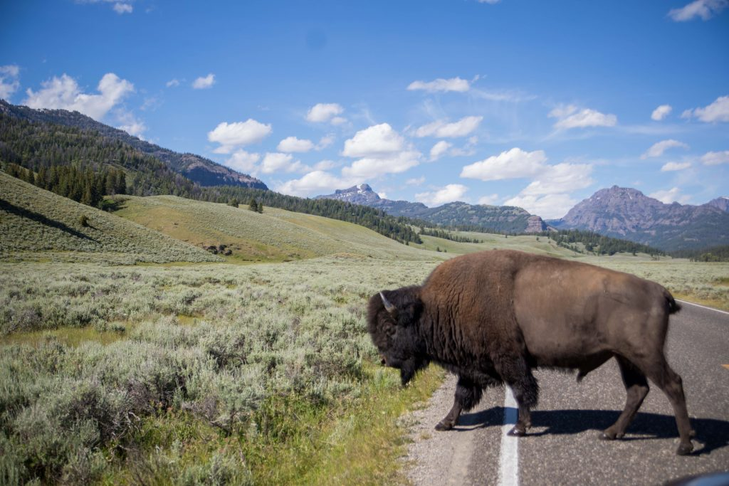 Bison in Yellowstone National Park near Montana's Yellowstone Country
