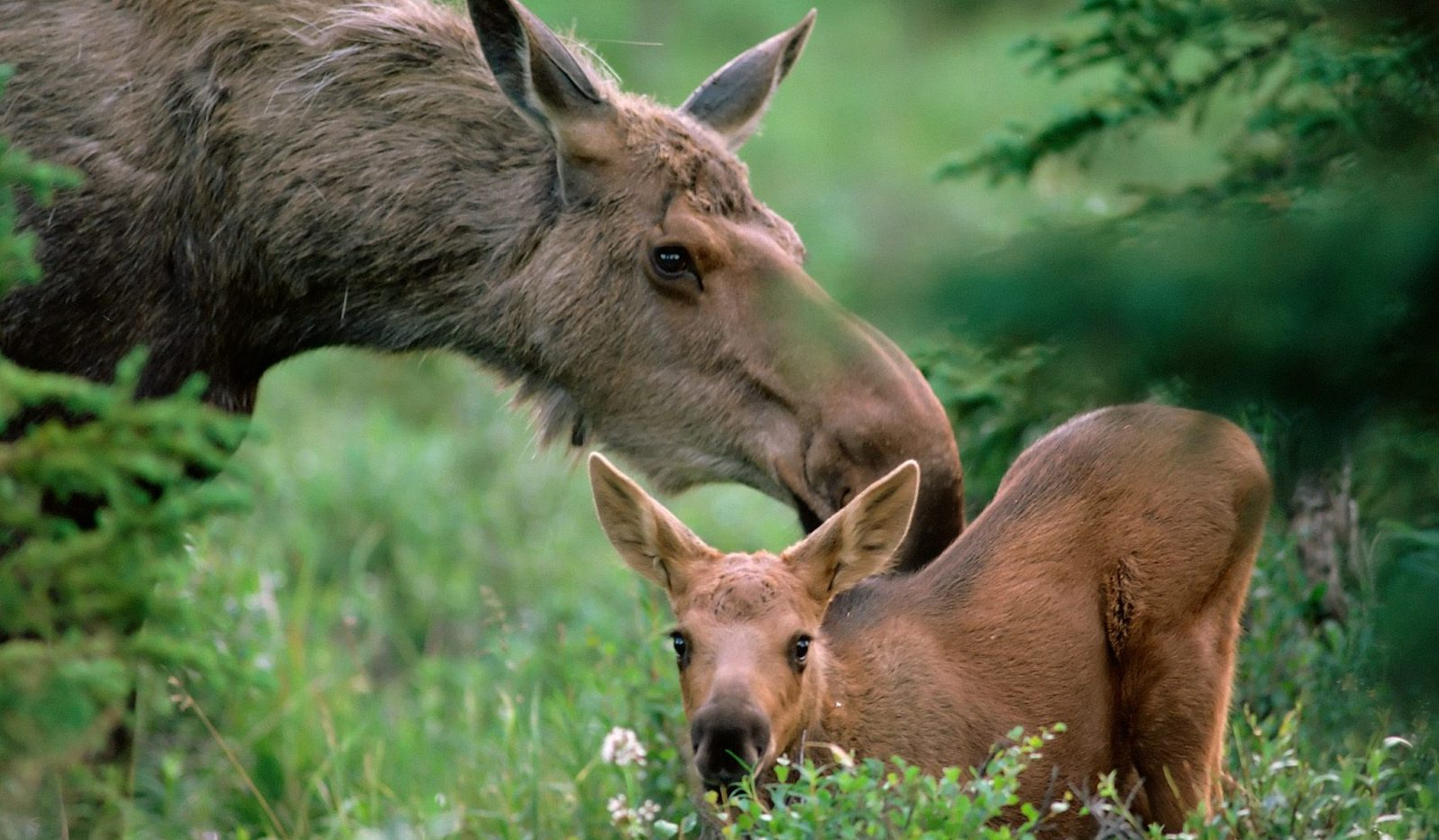 baby-moose-wallpaper-1